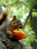 吃蕃茄的灰鼠 免版税库存照片