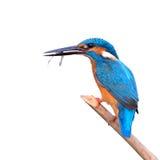 吃虾的翠鸟(翠鸟属athis) 免版税图库摄影