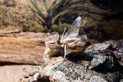 吃蚂蚱的有胡子的龙蜥蜴 免版税库存图片