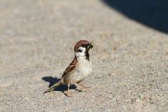 吃蚂蚱的麻雀 库存照片