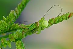 吃蚂蚱蜘蛛的螃蟹 免版税库存图片