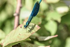 吃蚊子的蜻蜓 免版税库存图片