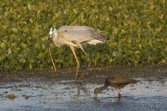 吃蛇的伟大蓝色的苍鹭的巢在奥兰多沼泽地停放 免版税图库摄影