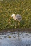 吃蛇的伟大蓝色的苍鹭的巢在奥兰多沼泽地停放 免版税库存图片