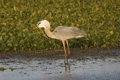 吃蛇的伟大蓝色的苍鹭的巢在奥兰多沼泽地停放 免版税库存照片