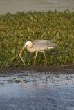 吃蛇的伟大蓝色的苍鹭的巢在奥兰多沼泽地停放 库存照片