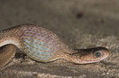 吃蛋蛇吞下 库存照片