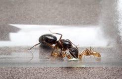 吃蜂蜜的女王/王后和两只工作者蚂蚁 免版税库存照片