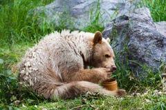 吃蜂蜜的Kermode (精神)熊 库存照片