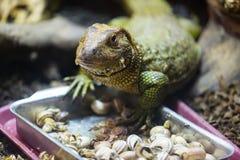 吃蜗牛的凯门鳄蜥蜴 免版税图库摄影