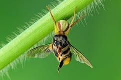 吃蜘蛛的蜂螃蟹 免版税库存图片