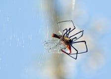 吃蜘蛛的蜻蜓 库存图片