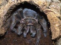吃蜘蛛的鸟 库存照片