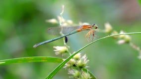 吃蜻蜓的蜻蜓 免版税库存照片