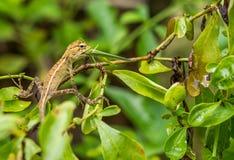 吃蝗虫的变色蜥蜴 免版税库存图片
