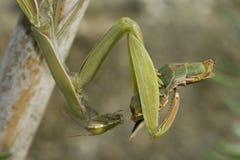 吃螳螂伙伴的特写镜头 免版税库存照片