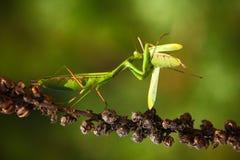 吃螳螂,两绿色在花,螳螂religiosa,行动场面,捷克共和国的昆虫螳螂的Matins 免版税图库摄影