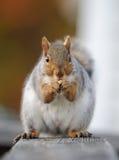 吃螺母灰鼠 库存照片
