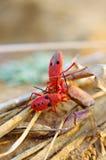 吃蟹腿的昆虫 库存图片