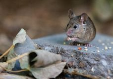 吃被投下的鸟饵的一只共同的家鼠 库存照片