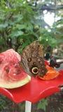 吃西瓜的蝴蝶 免版税库存照片