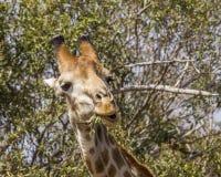 吃金合欢分支的长颈鹿在kruger公园 免版税库存图片