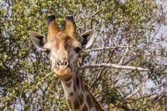 吃金合欢分支的长颈鹿在kruger公园 免版税图库摄影