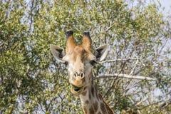 吃金合欢分支的长颈鹿在kruger公园 库存图片