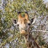 吃金合欢分支的长颈鹿在kruger公园 库存照片