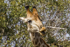 吃金合欢分支的长颈鹿在kruger公园 图库摄影