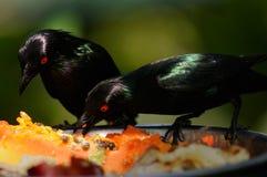吃金属starlings 免版税库存照片