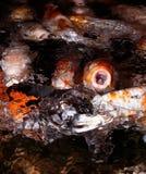 吃金鱼 免版税库存照片