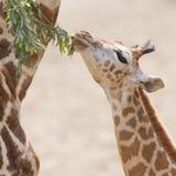 吃长颈鹿年轻人 库存图片