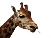 吃长颈鹿 库存图片