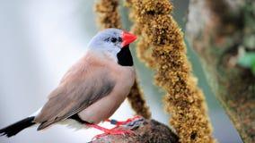 吃雀科的鸟长尾 图库摄影
