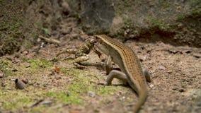 吃青蛙的蜥蜴 影视素材