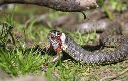 吃青蛙蛇 免版税库存照片