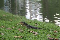 吃青蛙,动物的亚洲水监控器 库存图片
