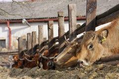 吃青贮的母牛 免版税库存照片