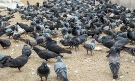 吃面包的外壳小组鸽子 免版税库存图片