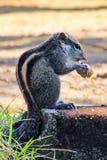 吃面包的花栗鼠坐石头 库存图片