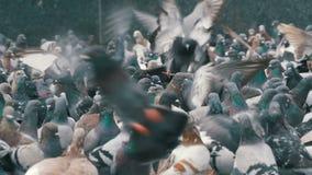 吃面包的鸽子巨大的群和在城市街道上离开 慢的行动 股票录像
