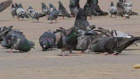 吃面包的鸽子巨大的群户外在城市公园 全部鸽子吃在街道上的食物 哺养的鸽子  影视素材