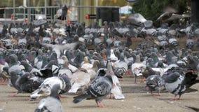 吃面包的鸽子巨大的群户外在城市街道 股票视频