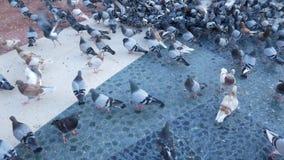 吃面包的鸽子群户外在城市公园 股票录像