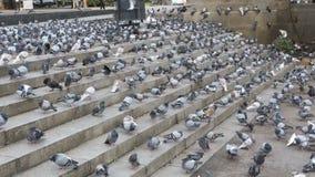 吃面包的鸽子群户外在城市街道 股票录像