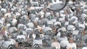 吃面包的鸽子群户外在城市街道 影视素材
