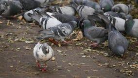 吃面包的鸽子 吃在城市公园的鸽子面包 影视素材