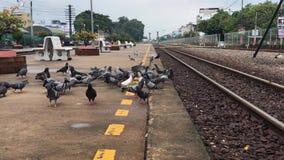 吃面包的鸽子 吃在城市街道上的鸽子面包在火车站 股票录像