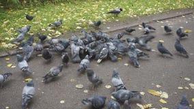 吃面包的鸽子 吃在城市街道上的鸽子面包 影视素材